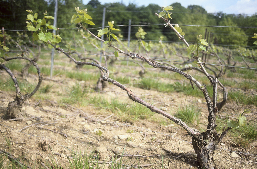 Vines Close Up, French Wine