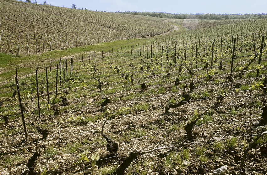 French Wine, Vine Rows