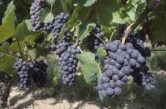 French Wine Grapes