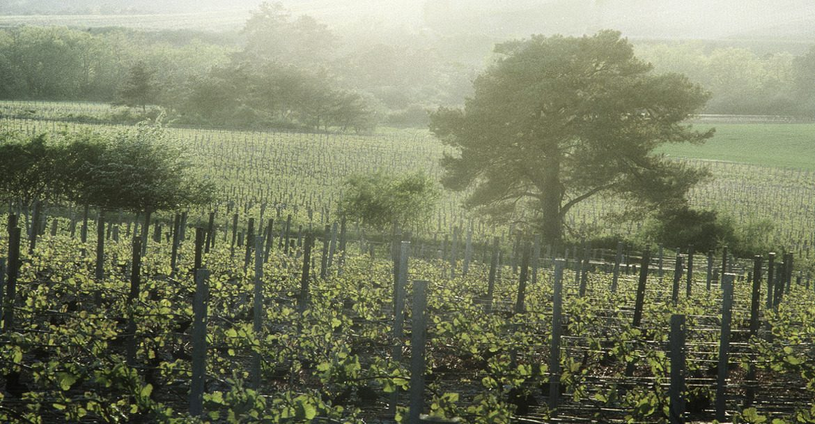 French Wine Grape Rows